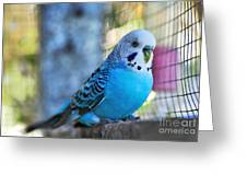Budgerigar - Parakeet Greeting Card