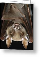 Buettikofers Epauletted Bat Epomops Greeting Card
