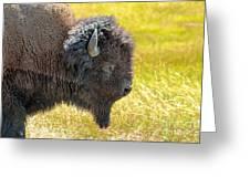 Buffalo Portrait Greeting Card