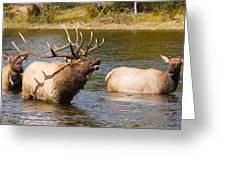 Bugling Bull Elk And 2 Female Cows In Estes Lake  Co Greeting Card