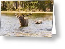 Bugling Bull Elk And Calf Colorado Rut 4 Greeting Card