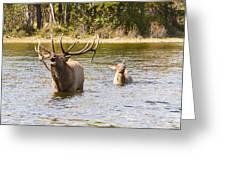 Bugling Bull Elk And Calf Colorado Rut 5 Greeting Card