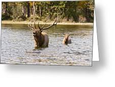 Bugling Bull Elk And Calf Colorado Rut  Greeting Card