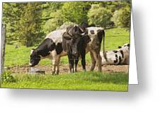 Bull And Cows Grazing On Grass In Farm Maine Greeting Card