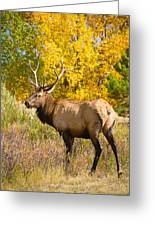 Bull Elk Autum Portrait Greeting Card
