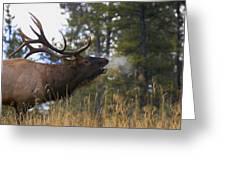 Bull Elk Bugling Jasper National Park Greeting Card by Carson Ganci