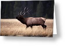 Bull Elk Cervus Elaphus Greeting Card