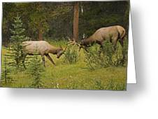 Bull Elk Fighting, Banff National Park Greeting Card by Philippe Widling