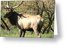 Bull Elk  Greeting Card by The Kepharts