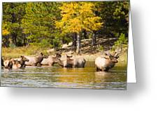 Bull Elk Watching Over Herd 2 Greeting Card