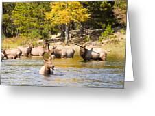 Bull Elk Watching Over Herd 4 Greeting Card