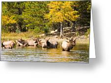 Bull Elk Watching Over Herd 5 Greeting Card