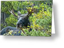 Bull Moose At Dusk Greeting Card