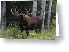 Bull Moose Flehmen Greeting Card