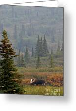 Bull Moose In Alaska Greeting Card