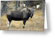 Bull Moose, Peter Lougheed Provincial Greeting Card