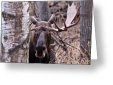 Bull Moose Stare Down Greeting Card