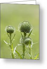 Bull Or Spear Thistle Buds- Cirsium Vulgare Greeting Card