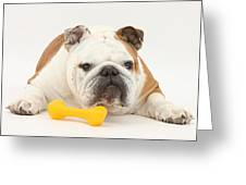 Bulldog With Plastic Chew Toy Greeting Card