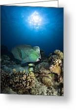 Bumphead Parrotfish, Australia Greeting Card