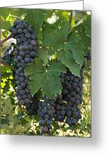 Bunches Of Sangiovese Grapes Hang Greeting Card