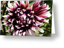 Burgundy And White Dahlia Greeting Card