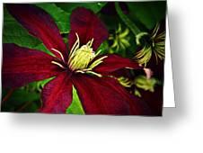 Burgundy Clematis Greeting Card