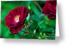 Burgundy Iceberg Rose Greeting Card