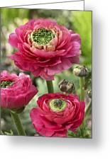 Buttercup Ranunculus Sp Mirabelle Vert Greeting Card
