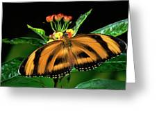 Butterfly Dryadula Heliconius Feeding Greeting Card