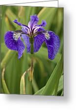 Butterfly Iris (iris Spuria) Greeting Card