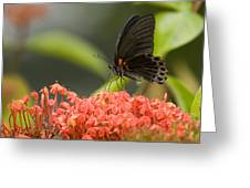 Butterfly Papilio Memnon Feeding Greeting Card