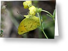 Butterfly - Yellow Sulphur On Yellow Greeting Card