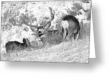 Bw Mule Deer Greeting Card