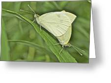 Cabbage White Butterflies 5267 Greeting Card