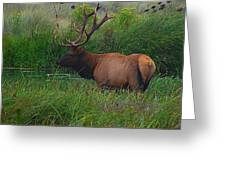 California Elk 0117h Greeting Card