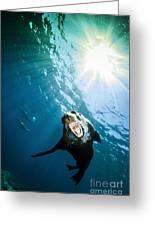 California Sea Lion, La Paz, Mexico Greeting Card by Todd Winner