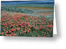 Californian Poppies (eschscholzia) Greeting Card