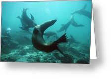Californian Sea Lions Greeting Card by Georgette Douwma