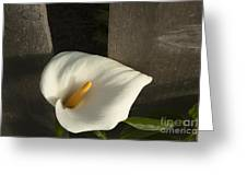 Calla Lily And Fence Greeting Card