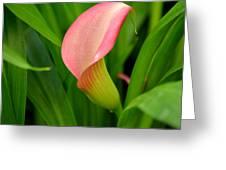 Calla Lily Rising Greeting Card by Fraida Gutovich