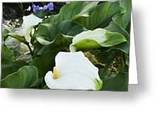 Callas At River Greeting Card