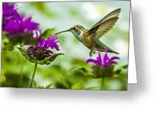 Calliope Hummingbird At Bee Balm Greeting Card