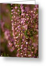 Calluna Vulgaris Greeting Card
