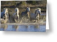Camargue Horse Equus Caballus Group Greeting Card