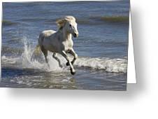 Camargue Horse Equus Caballus Running Greeting Card