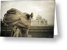 Camel In Front Of The Yamuna River And Greeting Card