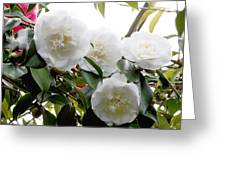Camellia Flowers (camellia Japonica) Greeting Card