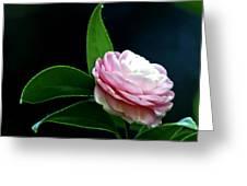 Camellia Twenty-four  Greeting Card