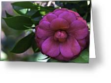 Camellia Twenty Greeting Card